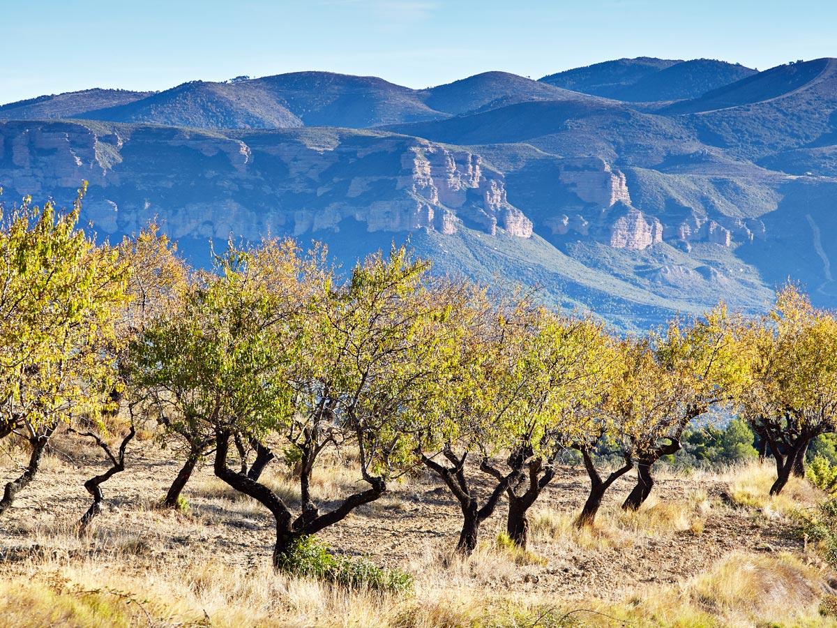 Almond-trees-IMG_3075